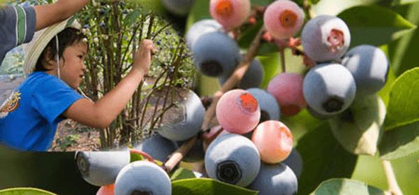 2008_blueberry
